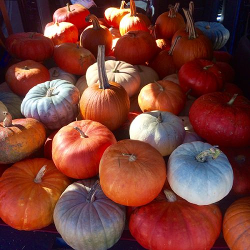 Pick Your Own Pumpkins, Pumpkin Patch, Gourds, Mums, Indian Corn and More Fall Decorating
