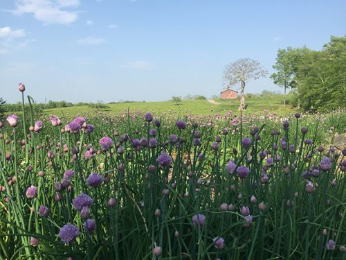 A View of our Red Barn through the lavender chives...