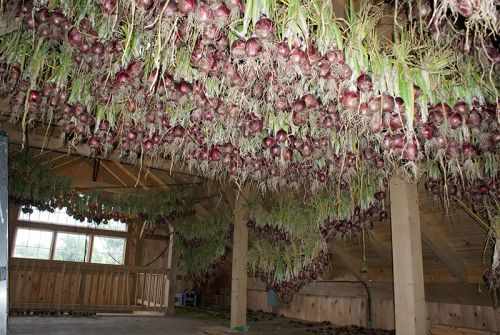 Onions hang to dry for our Winter CSA Farm Share program