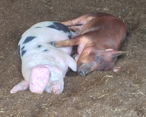 Gourmet pork from heritage breed pigs: Gloucester Old Spots and Red Wattles