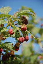 Sweet and luscious red raspberries, great for jam -- if you can keep from eating them all right away