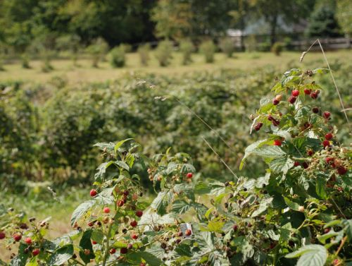 Red raspberries are usually ready in August!