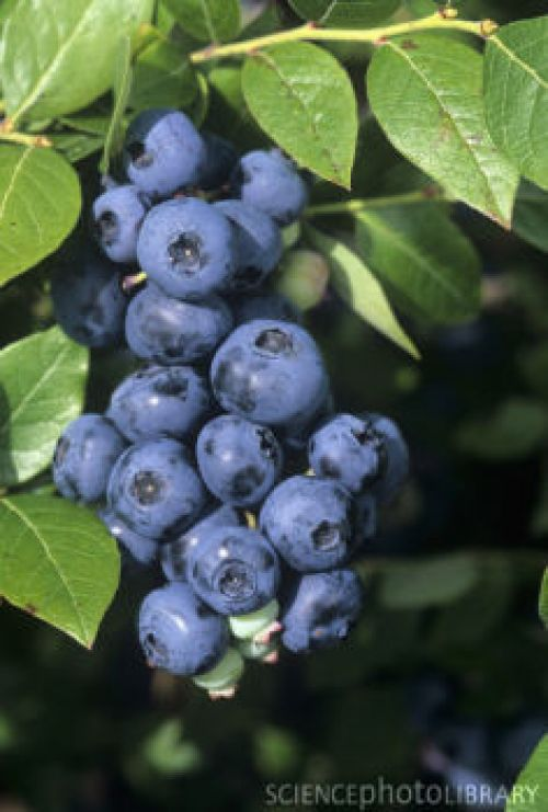 Nelson blueberries