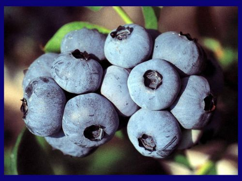 Jersey blueberry cluster