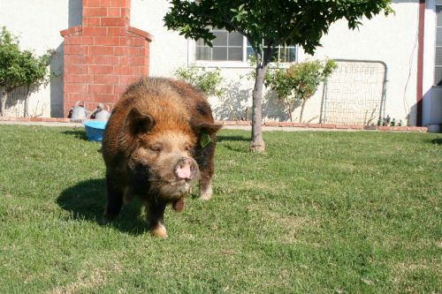 Hamish (Imported NZ Mahia Love Boar)