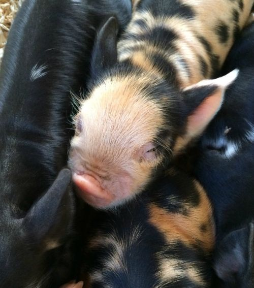Beautiful's boar piglet