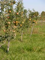 First Bearing Apple Trees 2013