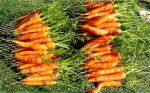 carrots in January!