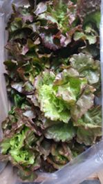 Lettuces ready for delivery