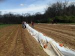 Chard and Cabbage planting