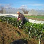 Chip harvesting winter grown beets