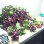 Winter Grown beets harvested and ready for market