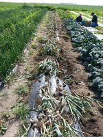 Garlic laid out in the row