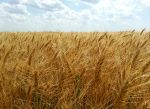 Our wheat field 2013.