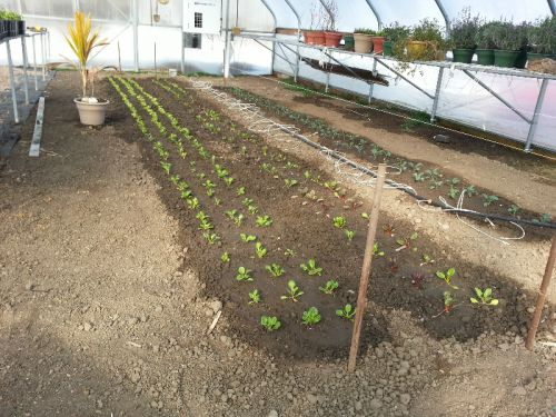 Baby kale and swiss chard