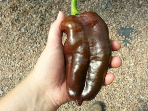 Chocolate Bell Pepper