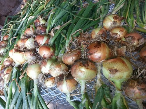 Sweet yellow onions curing.
