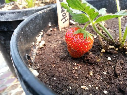 Strawberries on our new plant