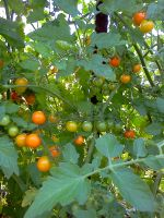Sungolds ready to pick
