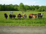 Fruitful Farm Cattle