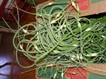 Garlic Scapes! Escaping from the box