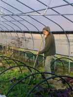 Lori at Silver Wheel; cultivating high tunnel greens 11/26/12. (kale, mustards, raab in photo)