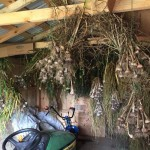 Drying garlic and onions at Grateful Life Farm
