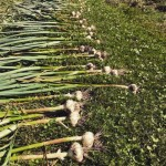 Garlic harvested and curing