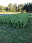 Cover crops enrich the soil.