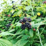 It's black raspberry season at Trunnel Brook Farm