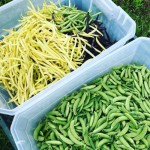 Beans and peas at Trunnel Brook Farm
