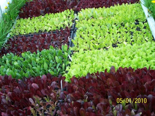 Flats of lettuce to transplant