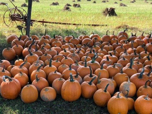 Pumpkins at Detweiler Farm