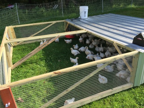 Grateful Life Farm's chicken tractor