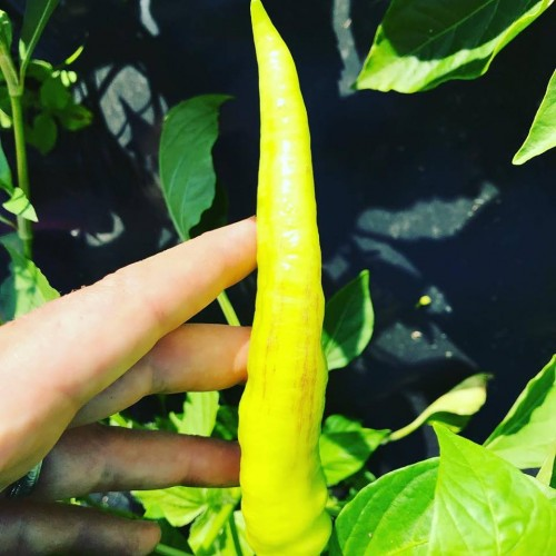 Hot peppers at Trunnel Brook Farm