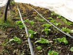 January Lettuce Plants