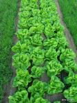 lined up lettuce