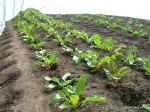 young swiss chard under row cover