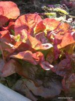 Radiant Red Cross Lettuce