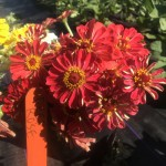 Deep Rose Zinnias