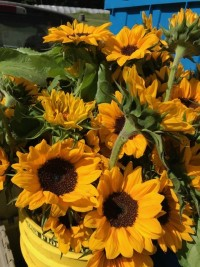 Flowers - Sunflowers