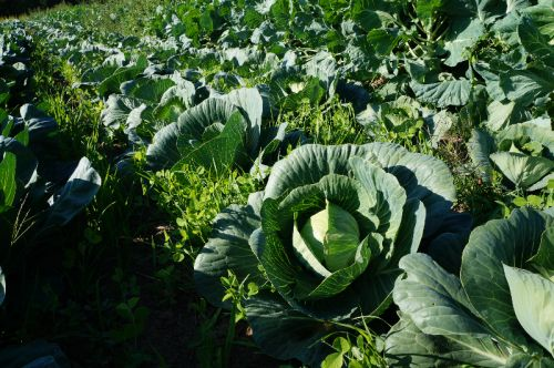 Cabbages with Undersown Oats and Peas