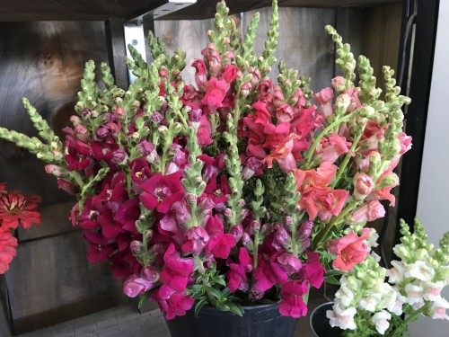 Flowers - snapdragon