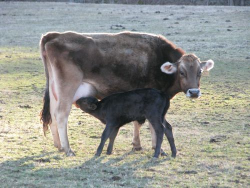 Blossom | Brown Swiss  (with her calf born 2/2014) -
