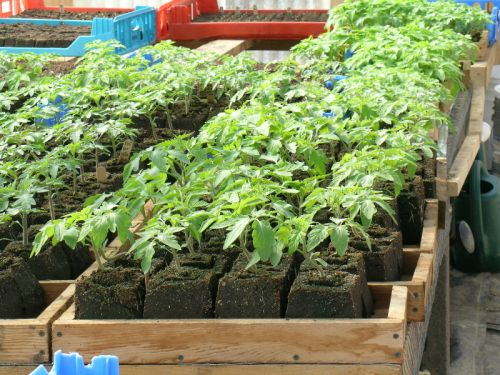 Tomatoes seedlings, back when we used soil blocks.