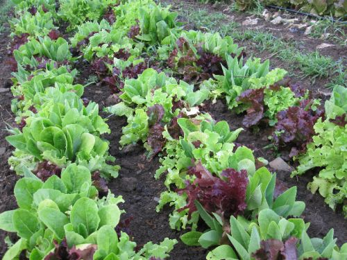 A Traditional Leaf Lettuce sowing