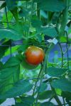 First ripening tomato June 22