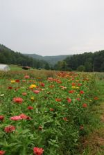 Zinnias add some color to the beautiful farm