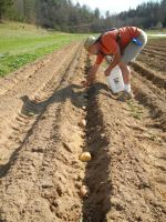 Jason planting potatoes