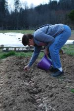 Sandy planting potatoes